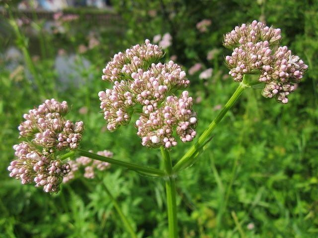 Remèdes naturels les 8 plantes qui favorisent le bien-être